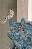 Finch on Gargoyle